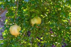 Pomegranate fruit tree with fruits. Royalty Free Stock Image