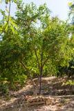 Pomegranate fruit tree with fruits. stock photo