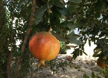 Pomegranate fruit in the tree. Pomegranate fruits on the tree in summer garden Stock Photo