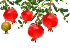 Pomegranate fruit tree Stock Photography
