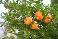 Pomegranate fruit on the tree Stock Image