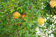 Pomegranate fruit on the tree Stock Image