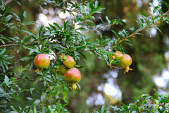 Pomegranate fruit on the tree Stock Photography
