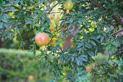 Pomegranate fruit on the tree Royalty Free Stock Photo