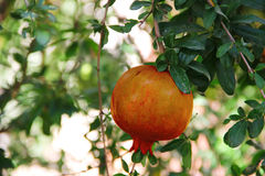 Pomegranate fruit on the tree Royalty Free Stock Photos