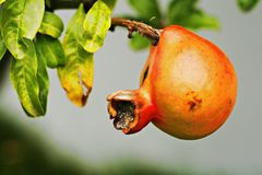 Pomegranate fruit on tree. Orange pomegranate fruit on tree branch Royalty Free Stock Photography