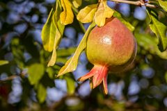Pomegranate fruit on the tree. Photo of pomegranate fruit on the tree royalty free stock photo