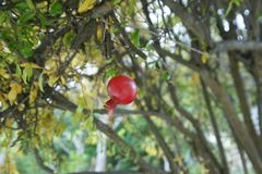 Pomegranate fruit and tree in Southern CALIFORNIA stock photos