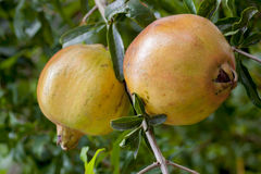 Pomegranate fruit. Two of Pomegranate fruit on tree Royalty Free Stock Images