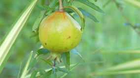 Pomegranate Fruits on the Branch Tree, closeup. Ultra HD 4K High quality footage size (3840x2160 stock video footage