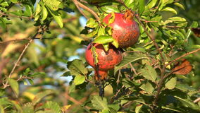 Pomegranate fruits growing in the garden stock video footage