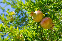 Pomegranate fruits on the tree Stock Images