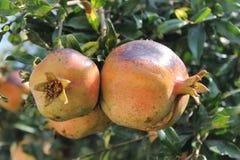 Pomegranate fruits on a tree ripe Stock Image