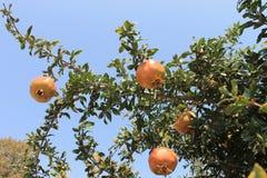 Pomegranate fruits on a tree ripe Stock Photo