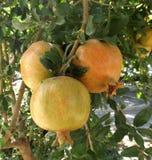 Pomegranate fruits Stock Photos