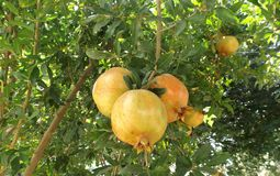 Pomegranate fruits in the tree. Pomegranate fruits on the tree in summer garden Stock Photo
