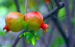 Pomegranate fruits Stock Photos