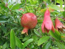Pomegranate or pomegranate stock photography