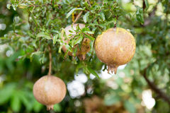 Pomegranate. Group of fresh pomegranate with branch and leaves Stock Photography