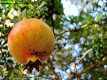 Pomegranate hanging. Pomegranate fruit hanging from the tree surrounded by leaves Royalty Free Stock Photography