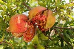Pomegranate. Nature gives us its fruits Royalty Free Stock Photos