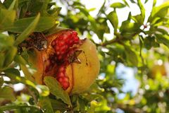 Pomegranate. Nature gives us its fruits Stock Images