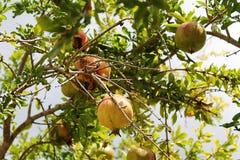 Pomegranate. Nature gives us its fruits Royalty Free Stock Image