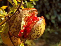 Pomegranate 5 Stock Image