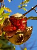 Pomegranate 4 Stock Image