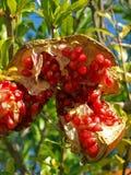 Pomegranate 6 Stock Photos