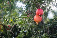 Pomegranate orchard with fruit Stock Photo