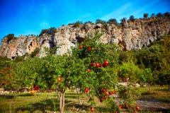 Pomegranate orchard Royalty Free Stock Image