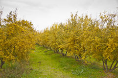 Pomegranate Orchard. The yellow pomegranate orchard at clody day during the fall Royalty Free Stock Image