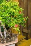 Pomegranate ordinary. Grade Punica pomegranate. bonsai Tree Royalty Free Stock Photo