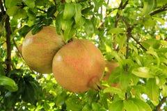 Pomegranate på Tree Arkivbild