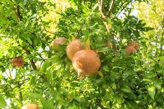 Pomegranate på Tree Royaltyfri Foto