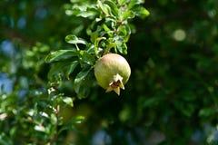 Pomegranate på Tree Royaltyfri Bild