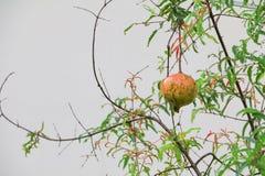 Pomegranate på treen Royaltyfria Foton
