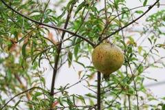 Pomegranate på treen Arkivbilder