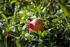 Pomegranate på treen Arkivbild