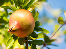 Pomegranate. A pomegranate plant with fruits Stock Photography