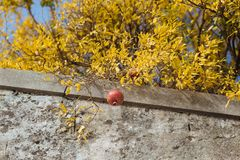Red pomegranate stock photo