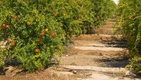 Pomegranate plantation Royalty Free Stock Photography
