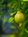 Pomegranate or Punica apple Royalty Free Stock Photography