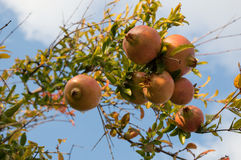 The pomegranate (Punica granatum) Royalty Free Stock Photography
