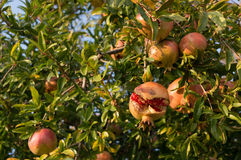 The pomegranate (Punica granatum) Stock Photography