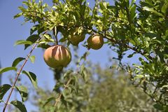 Pomegranate Punica granatum hanging on twigg. Pomegranate Punica granatum hanging on twig with blue sky in background, picture from village Nea Pella in the Stock Photos
