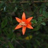 Pomegranate Or Punica Granatum Nana Flower Stock Photography