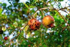 Pomegranate ready to harvest Stock Photo