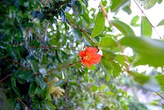 Pomegranate red flower with pomegranate in the tree stock photography